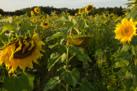 http://studiothomasvailly.com/files/gimgs/th-5_49_sunflower-bioplastic-harvest-polymer-stv-luma.jpg